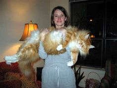 So, this is a norwegian forest cat...full grown. I wonder if Thor will get this big.