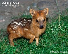 Baby muntjac - smallest deer in the world!  www.ispyanimals.com