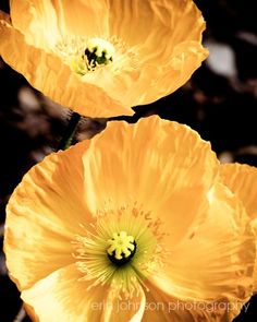 I AM IN LOVE WITH POPPIES!!!!!!!!!    Shoply.com -Two Yellow Poppies -Flower Photograph- Fine Art Print 8x10. Only $20.00