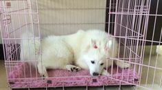 Crate time Samoyed, Ferret, Polar Bear, Crates, Animals, Animales, Animaux, Samoyed Dog, Ferrets