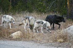 yellowstone wolves | Yellowstone Wolf