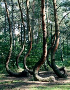 Krzywy Las Polska Skarby Przyrody Pinterest Mysterious Places - To this day the mystery of polands crooked forest remains unexplained
