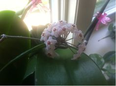 First new blossom: Grandma had this Hoya plant on the windowsill  in RVC , always called  me (Alexa) when it bloomed... When Susan W got it, it wasn't in the best shape,  it hadn't bloomed since it was in Grandma's house - yesterday   it finally bloomed, . It's just one little bunch of flowers,   don't think it's a coincidence that it bloomed on the biggest moon  night of the year...(6/2013)