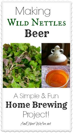 Making Wild Nettles Beer-- a fun and simple home brewing project that yields an IPA-like beer, without the use of hops or grains! And it's ready in just a couple of weeks!