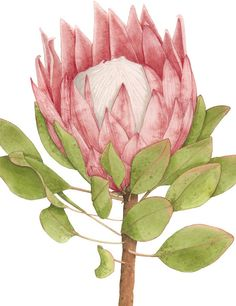 King Protea in king protea drawing collection - ClipartXtras Botanical Flowers, Botanical Prints, Exotic Flowers, Art And Illustration, Botanical Illustration, Watercolor Flowers, Watercolor Art, Protea Art, Australian Native Flowers