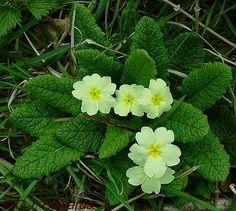 Primrose Day – 19th April | Elizabeth Ashworth – author