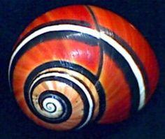Polymita picta, a red-orange  Cuban land snail