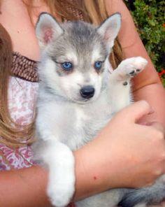 Can't wait to get our Alaskan Klee Kai! Alaskan Klee Kai Puppy, Like Animals, Beautiful Eyes, Cute Puppies, Husky, Kitty, Pets, Future, Dog