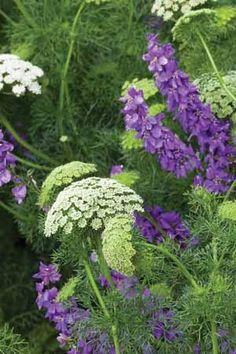 PURPLE AND WHITE; Ammi visnaga amongst purple Larkspur
