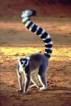 lemur wild-animals