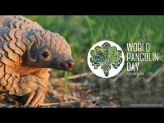And now, a pangolin cavorting in the mud