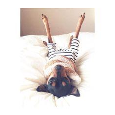 "Fantastic ""pinscher puppy"" detail is available on our site. Mini Pinscher, Miniature Pinscher, Doberman Pinscher, Dog Pictures, Animal Pictures, Cute Pictures, Animals And Pets, Cute Animals, Animals Kissing"