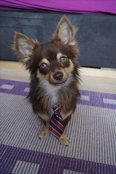 Chihuahua, Corgi, Boys, Animals, Baby Boys, Corgis, Animales, Animaux, Animal