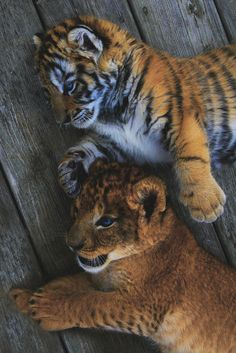 Lion and Tiger Cub by Ashley Hockenberry / (Big kittens are still kittens. Baby Animals Super Cute, Cute Little Animals, Cute Funny Animals, Cute Dogs, Baby Tigers, Cute Tigers, Cute Tiger Cubs, Tiger Tiger, Bengal Tiger