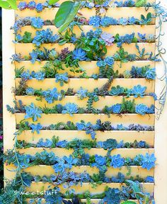 Plant succulents in old shutter door. She added moss and dirt in the slats and then planted.