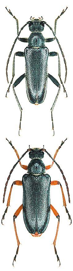 Cortodera villosa circassica1