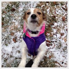 My Jack Russell Terrier Maisy in her purple & pink winter coat on the first day of snow in 2013.