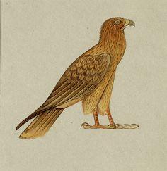 A hieroglyph of a long-legged buzzard, Buteo rufinus. Carter.  c.1892 -3