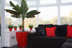 Red Cirkik Planter with a Banana Tree.  Container available from @plantfinderpro  https://plantfinderpro.com/couture-planters/