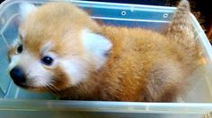 Red panda cub at the Greenville Zoo (Courtesy: Greenville Zoo/ Facebook)