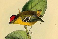 Expedição do Observatório de Aves – Instituto Butantan está aberta a ornitólogos e observadores que queiram se juntar à procura do tietê-de-coroa. Espécie é considerada uma das mais raras do mundo