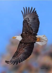 Flying Free Bald Eagle an acrylic painting by Wildlife Artist Danny O'Driscoll