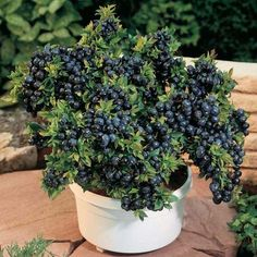 Cheap plants for homes, Buy Quality blueberry seeds directly from China bonsai seeds Suppliers: 200 seeds/pack Blueberry seeds Bonsai Edible fruit seeds, Indoor, Outdoor Available bonsai seeds potted plant for home garden Plants, Fruit Trees, Growing Blueberries, Blueberry Plant, Blueberry Bushes, Bonsai Seeds, Container Gardening, Garden Supplies, Veggie Garden