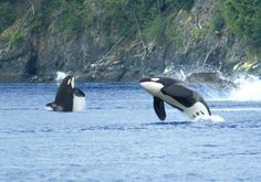 Two orca whales breaching near San Juan Island photo by whale watching guest Dawn Gentry
