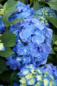 Bela Flower, My Flower, Amazing Flowers, Blue Flowers, Beautiful Flowers, Peonies And Hydrangeas, Blue Hydrangea, Planting Succulents, Planting Flowers
