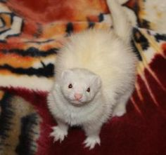 Scruffy is an adoptable Ferret Ferret in Randolph, NJ. Scruffy is a happy 2 year old black eyed white female, and quite the ham.  ADV tested negative for Aleutian Disease Virus and up to date on dist...