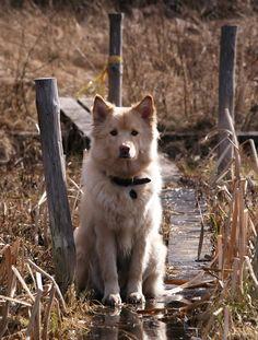 Spring 2013. Johka, Finnish Lapphund, male, 2 years.
