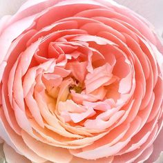I have a huge colour crush on this perfect peachy rose  James and I stayed up too late last night watching the last Game of Thrones and eating brownies. The next series is out in 2019 apparently - what will our lives look like then I wonder...??!  Anyway for today its blackberry picking (if there's any left?) and getting ready for going back to school tomorrow. Enjoy your Sundays x