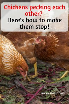 Why are my chickens pecking each other? Here are 6 different reasons why chickens peck or pick at each other and how to stop them. What Can Chickens Eat, Food For Chickens, Laying Chickens, Raising Backyard Chickens, Urban Chickens, Backyard Poultry, Baby Chickens, Keeping Chickens, Chickens And Roosters