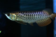 The Asian red arowana comprises several varieties of freshwater fish in the genus Scleropages. Description from pinterest.com. I searched for this on bing.com/images