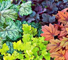 Heuchera - Coral Bells.  If you are looking for great color foliage in a shade perennial - this plant is for you!  Colors range from dark, nearly black, to orange, and green-varigated to a bright yellow green. Very hardy - come back year after year and bloom with tiny, bell shaped flowers pushing up on stems overtop the foliage.  Super nice, bushy plant for borders.