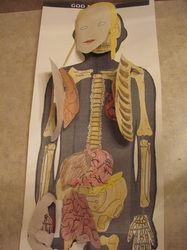 Hands on human anatomy unit Respiratory System Lesson