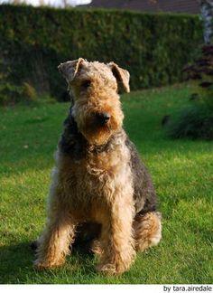 El Airedale Terrier es una raza de perros grande y fuerte perteneciente al grupo Terrier. Es de origen británico, de la región de Yorkshire.