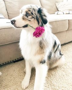 blue merle australian shepherd aussie puppy with flower - Baby animals - Hunde Australian Shepherds, Australian Shepherd Blue Eyes, Aussie Shepherd, Australian Shepherd Puppies, Aussie Puppies, Cute Puppies, Cute Dogs, Dogs And Puppies, Doggies