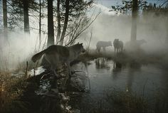 A Group Of Gray Wolves, Canis Lupus Photograph - A Group Of Gray Wolves, Canis . A Group Of Gray Wolves, Canis Lupus Photograph - A Group Of Gray Wolves, Canis . Beautiful Creatures, Animals Beautiful, Beautiful Things, Of Wolf And Man, Howl At The Moon, Wolf Pictures, She Wolf, Beautiful Wolves, Natural Wonders