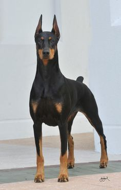 More About The Doberman Pinscher Dogs HealthYou can find Doberman pinscher and more on our website.More About The Doberman Pinscher Dogs Health Black And Tan Terrier, Doberman Pinscher Dog, Doberman Puppies, Doberman Love, Blue Doberman, Beautiful Dogs, Dog Life, I Love Dogs, Best Dogs