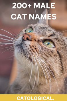 For all of you male cat owners out there – I've created a list of the top 200  names for male kitties. #cats #catnames #malecats #catblog Names For Male Cats, Grey Cat Names, Cute Cat Names, Grey Cats, Cute Cats And Kittens, Cool Cats, Pun Names, Unique Cat Names, Baby Leopard