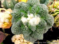 Image from http://www.llifle.com/photos/Ariocarpus_fissuratus_cv._Supergodzilla_18820_l.jpg.