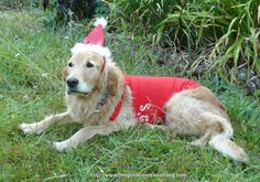 Santa's little helper in her outfit. Lucky Golden Retrievers are such patient dogs!