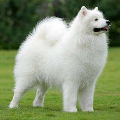 40 Samoyed Saturday Dog Samoyed Photos Who doesnt love cute dogs and are some of the cutest. Baby Puppies, Cute Puppies, Dogs And Puppies, Corgi Puppies, Beautiful Dogs, Animals Beautiful, Cute Baby Animals, Animals And Pets, Samoyed Dogs
