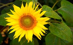 #1867693, sunflower category - HDQ Images sunflower pic