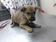 11/15/16-HOUSTON - SUPER URGENT - HIGH KILL FACILITY IS OVER CAPACITY -This DOG - ID#A471918 I am a female, tan and black Labrador Retriever. The shelter staff think I am about 6 weeks old. I have been at the shelter since Nov 08, 2016. This information was refreshed 20 minutes ago and may not represent all of the animals at the Harris County Public Health and Environmental Services.