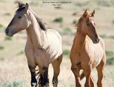 Carter Reservoir wild horse Dun Factor Extraordinaire! #CarterReservoirMustangs #CarterWOWFactor #wildmustangs #buckskindun