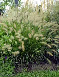 Fountain Grass Soft White Wooly More