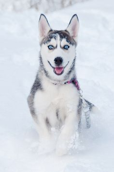 Husky in the Snow(by RobinClicks)