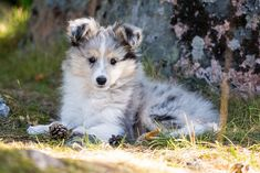 Otto (Sweet Me Fire On Ice) on his 10 weeks birthday | by marcusrosenlund